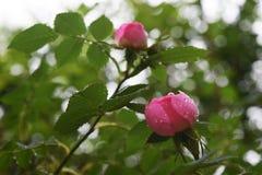 Όμορφα φυσικά ρόδινα και άσπρα τριαντάφυλλα με τις πτώσεις νερού Στοκ φωτογραφίες με δικαίωμα ελεύθερης χρήσης