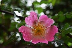 Όμορφα φυσικά ρόδινα και άσπρα τριαντάφυλλα με τις πτώσεις νερού Στοκ εικόνα με δικαίωμα ελεύθερης χρήσης