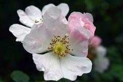 Όμορφα φυσικά ρόδινα και άσπρα τριαντάφυλλα με τις πτώσεις νερού Στοκ Εικόνα