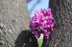 Όμορφα φωτεινά κεράσια λουλουδιών σε έναν κορμό δέντρων Στοκ εικόνα με δικαίωμα ελεύθερης χρήσης