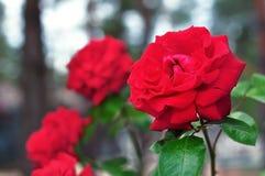 Όμορφα φωτεινά κόκκινα τριαντάφυλλα που αυξάνονται στους θάμνους στοκ φωτογραφίες