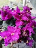 Όμορφα φωτεινά πορφυρά λουλούδια χρώματος Στοκ Εικόνες