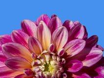 Όμορφα φύλλα του beati της Dalia Στοκ φωτογραφίες με δικαίωμα ελεύθερης χρήσης