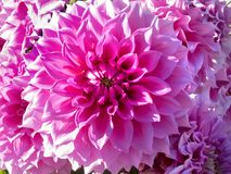 Όμορφα φύλλα του dalia_15 Στοκ Εικόνα