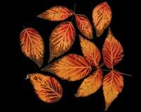 Όμορφα φύλλα φθινοπώρου των διαφορετικών χρωμάτων σε ένα απομονωμένο υπόβαθρο στοκ εικόνες με δικαίωμα ελεύθερης χρήσης