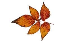 Όμορφα φύλλα φθινοπώρου των διαφορετικών χρωμάτων σε ένα απομονωμένο υπόβαθρο στοκ φωτογραφίες