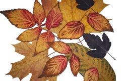 Όμορφα φύλλα φθινοπώρου των διαφορετικών χρωμάτων σε ένα απομονωμένο υπόβαθρο στοκ φωτογραφία με δικαίωμα ελεύθερης χρήσης