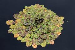 Όμορφα φύλλα στα μαξιλάρια κρίνων στη λίμνη κατωφλιών Στοκ φωτογραφία με δικαίωμα ελεύθερης χρήσης