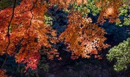 Όμορφα φύλλα σφενδάμου στην πόλη Mitake Στοκ Φωτογραφία