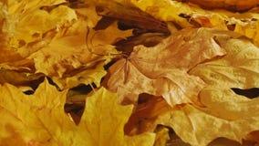 Όμορφα φύλλα σφενδάμου φθινοπώρου στον αέρα απόθεμα βίντεο