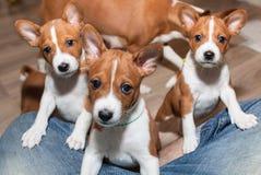 Όμορφα, χαριτωμένα σκυλιά κουταβιών που δεν αποφλοιώνουν το basenji φυλής σκυλιών Στοκ Εικόνες