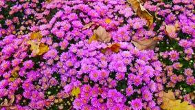Όμορφα χρυσάνθεμα λουλουδιών φθινοπώρου ζωηρόχρωμα Στοκ Εικόνες
