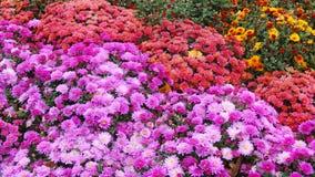 Όμορφα χρυσάνθεμα λουλουδιών φθινοπώρου ζωηρόχρωμα Στοκ Φωτογραφία