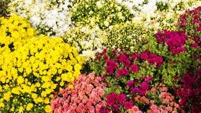Όμορφα χρυσάνθεμα λουλουδιών φθινοπώρου ζωηρόχρωμα Στοκ εικόνες με δικαίωμα ελεύθερης χρήσης