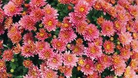 Όμορφα χρυσάνθεμα λουλουδιών φθινοπώρου ζωηρόχρωμα Στοκ φωτογραφία με δικαίωμα ελεύθερης χρήσης