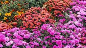 Όμορφα χρυσάνθεμα λουλουδιών φθινοπώρου ζωηρόχρωμα Στοκ εικόνα με δικαίωμα ελεύθερης χρήσης