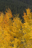Όμορφα χρυσά φύλλα της Aspen ενάντια στα δύσκολα δέντρα πεύκων βουνών Στοκ Εικόνα