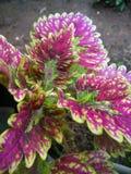 όμορφα χρωματισμένα πορφυρά φύλλα φυτών στοκ εικόνες