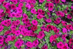 Όμορφα χρωματισμένα ροδανιλίνη λουλούδια της πετούνιας στοκ φωτογραφίες με δικαίωμα ελεύθερης χρήσης