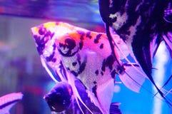 Όμορφα ψάρια νεράιδων στο ενυδρείο Στοκ Φωτογραφίες