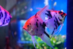 Όμορφα ψάρια νεράιδων στο ενυδρείο Στοκ εικόνα με δικαίωμα ελεύθερης χρήσης