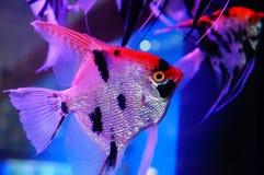 Όμορφα ψάρια νεράιδων στο ενυδρείο Στοκ φωτογραφία με δικαίωμα ελεύθερης χρήσης