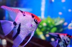 Όμορφα ψάρια νεράιδων στο ενυδρείο Στοκ Εικόνες