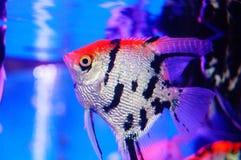 Όμορφα ψάρια νεράιδων στο ενυδρείο Στοκ Φωτογραφία