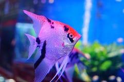 Όμορφα ψάρια νεράιδων στο ενυδρείο Στοκ φωτογραφίες με δικαίωμα ελεύθερης χρήσης