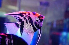 Όμορφα ψάρια νεράιδων στο ενυδρείο Στοκ Εικόνα