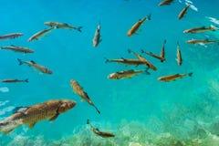 Όμορφα ψάρια στην τυρκουάζ λίμνη Φανταστικό φθινόπωρο Plitvice Στοκ Εικόνα