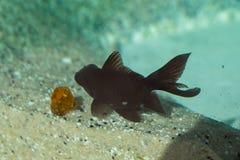 Όμορφα ψάρια στο ενυδρείο Στοκ εικόνες με δικαίωμα ελεύθερης χρήσης