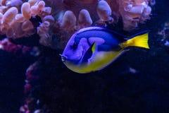 Όμορφα ψάρια το βασιλοπρεπές Tang στοκ εικόνες