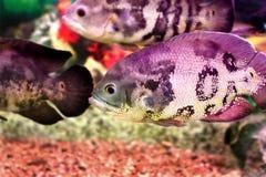 Όμορφα ψάρια Astronotusa ενυδρείων Στοκ εικόνες με δικαίωμα ελεύθερης χρήσης