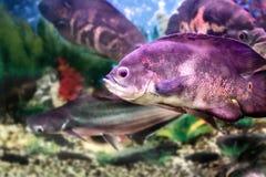 Όμορφα ψάρια Astronotusa ενυδρείων Στοκ φωτογραφίες με δικαίωμα ελεύθερης χρήσης