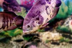 Όμορφα ψάρια Astronotusa ενυδρείων Στοκ φωτογραφία με δικαίωμα ελεύθερης χρήσης