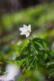 Όμορφα anemones/primroses - μακρο πυροβολισμός Στοκ Εικόνες