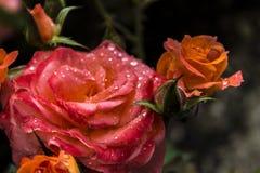 όμορφα bokeh τριαντάφυλλα φωτογραφιών κήπων ελαφριά φυσικά στοκ φωτογραφίες με δικαίωμα ελεύθερης χρήσης