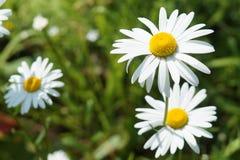 Όμορφα camomiles Στοκ εικόνα με δικαίωμα ελεύθερης χρήσης