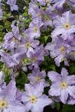 Όμορφα clematis Στοκ εικόνα με δικαίωμα ελεύθερης χρήσης