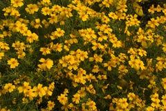 Όμορφα Coreopsis & x28 citrine& x29  λουλούδια στον κήπο στοκ φωτογραφίες