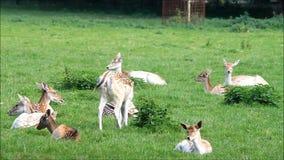 Όμορφα deers αγραναπαύσεων σε ένα πάρκο απόθεμα βίντεο
