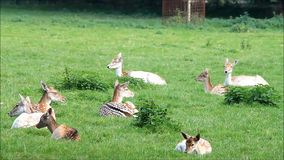 όμορφα deers αγραναπαύσεων σε ένα πάρκο, damwild απόθεμα βίντεο