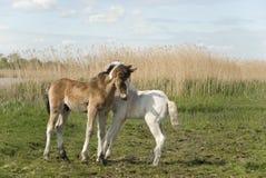 όμορφα foals δύο Στοκ Φωτογραφίες