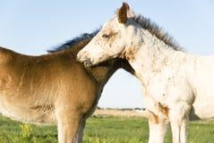 όμορφα foals δύο Στοκ φωτογραφίες με δικαίωμα ελεύθερης χρήσης