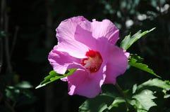Όμορφα Hibiscus ανθίζουν το ροζ Στοκ εικόνες με δικαίωμα ελεύθερης χρήσης