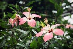 όμορφα hibiscus λουλουδιών Στοκ φωτογραφία με δικαίωμα ελεύθερης χρήσης