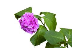 Όμορφα hydrangeas λουλουδιών Στοκ φωτογραφία με δικαίωμα ελεύθερης χρήσης