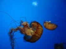 όμορφα jellyfish στοκ εικόνες