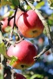 Όμορφα juicy μήλα που κρεμούν σε έναν κλάδο στοκ φωτογραφίες